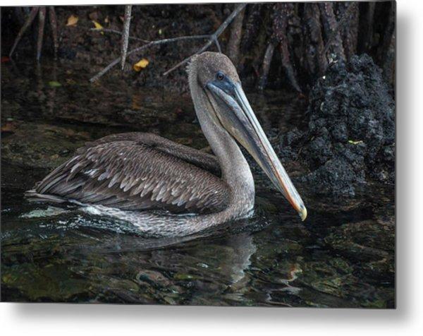 Galapagos Pelican Metal Print