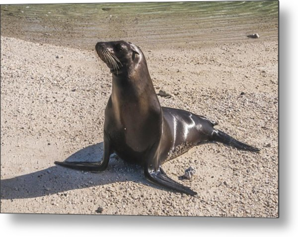 Galapagos Sea Lion Metal Print