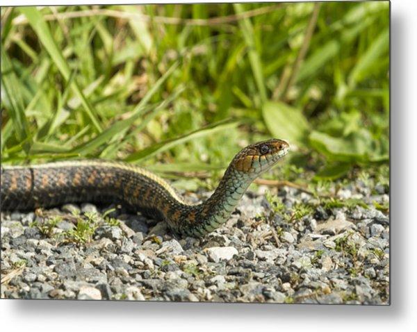 Gardener Snake Metal Prints and Gardener Snake Metal Art | Fine Art ...