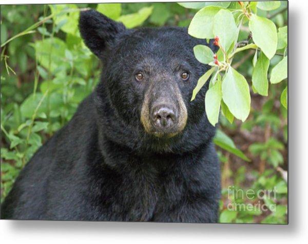Gazing Black Bear Metal Print