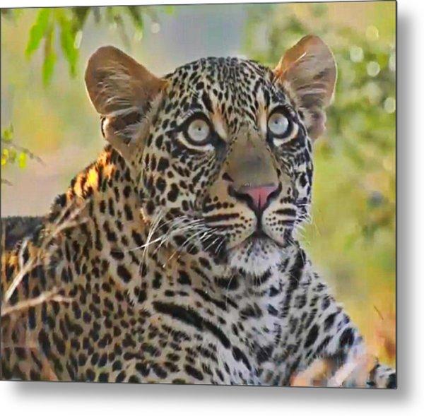 Gazing Leopard Metal Print