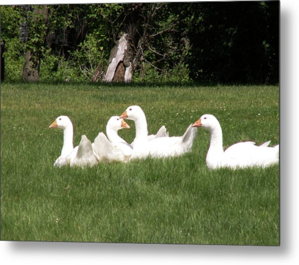 Geese In The Grass Metal Print
