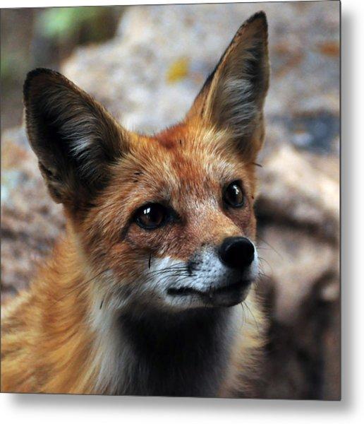 Gentle Fox Metal Print