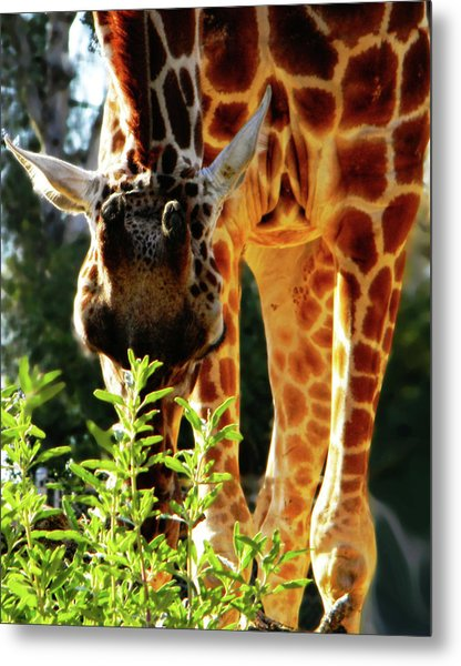 Metal Print featuring the photograph Gentle Giant by Pacific Northwest Imagery