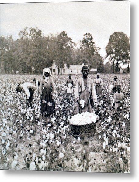 Georgia Cotton Field - C 1898 Metal Print