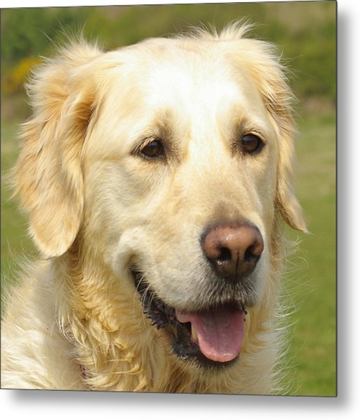 Georgie The Golden Retriever Metal Print by Hilary Burt
