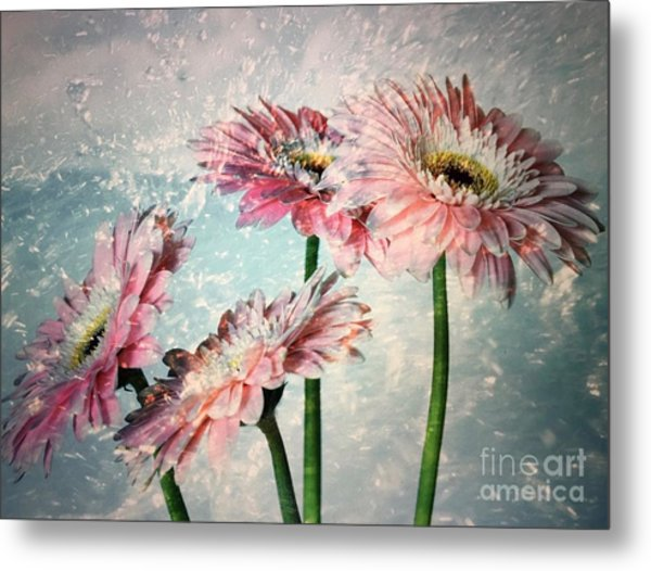 Gerbera Daisies With A Splash Metal Print
