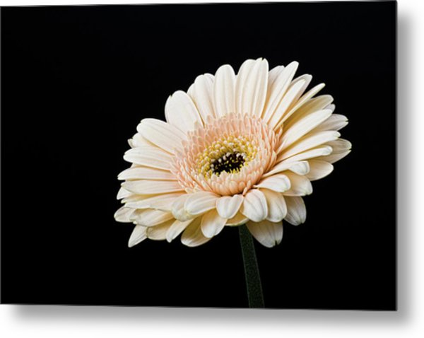 Metal Print featuring the photograph Gerbera Daisy On Black II by Clare Bambers