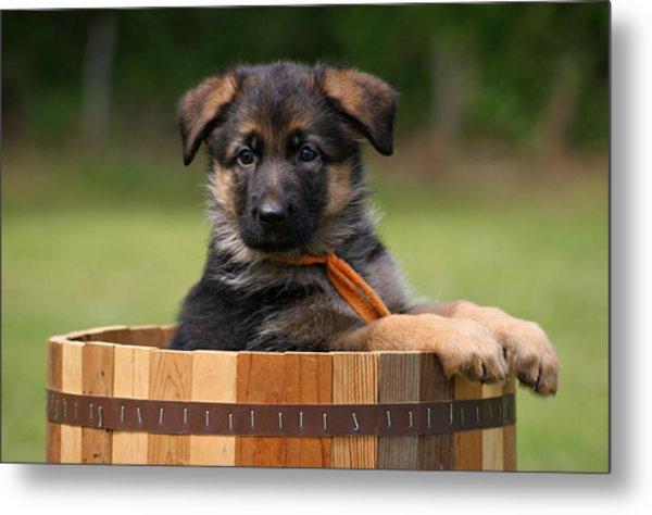 German Shepherd Puppy In Planter Metal Print