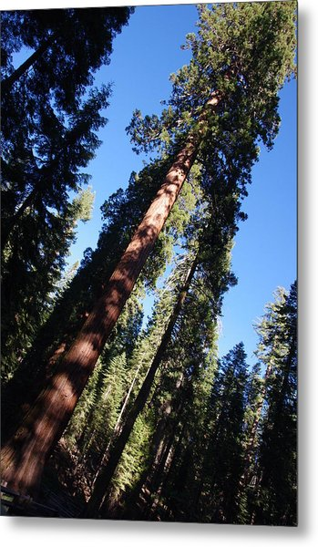 Giant Redwood Trees Metal Print