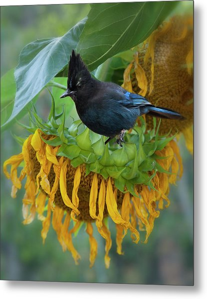 Giant Sunflower With Jay Metal Print