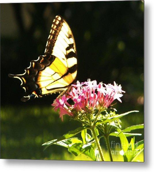 Giant Swallowtail On Penta Metal Print