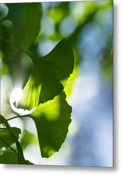 Gingko Leaves In The Sun Metal Print