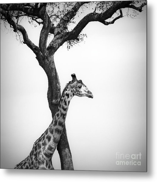 Giraffe And A Tree Metal Print