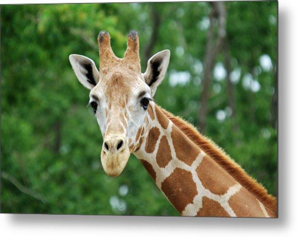 Giraffe Face Metal Print by Teresa Blanton