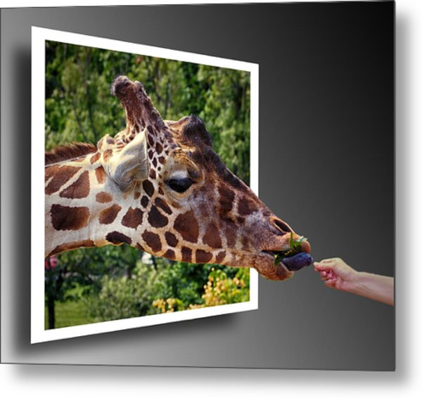Giraffe Feeding Out Of Frame Metal Print