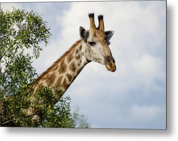 Metal Print featuring the photograph Giraffe In Manyeleti Game Reserve by Rob Huntley