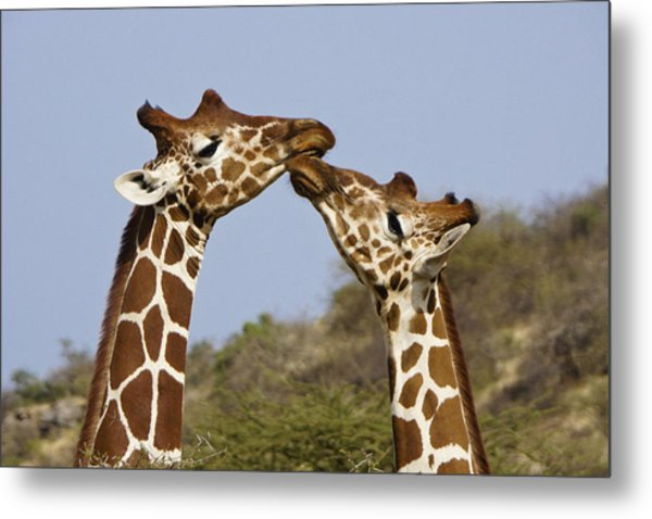 Giraffe Kisses Metal Print