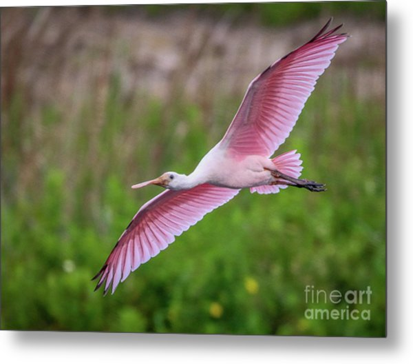Metal Print featuring the photograph Gliding Spoonbill by Tom Claud