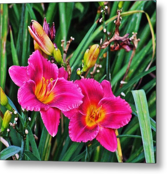Glorious Daylilies Metal Print