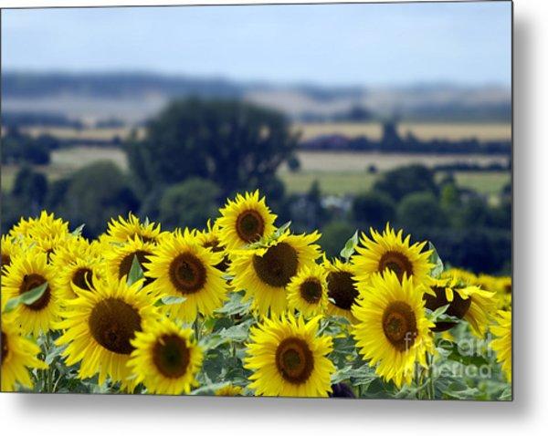 Glorious Sunflowers Metal Print