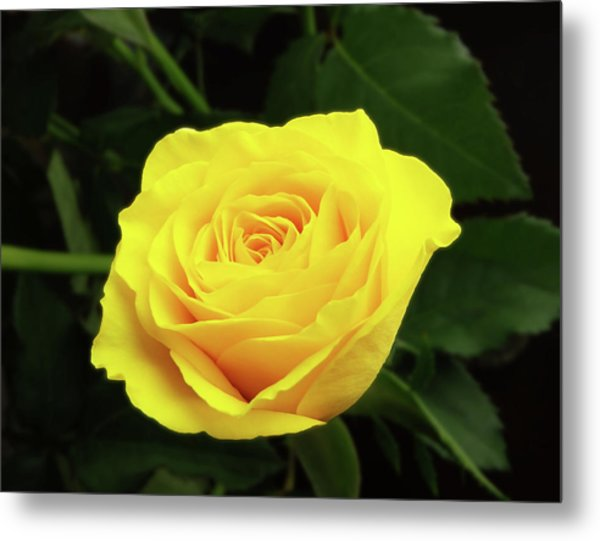 Glorious Yellow Rose Metal Print