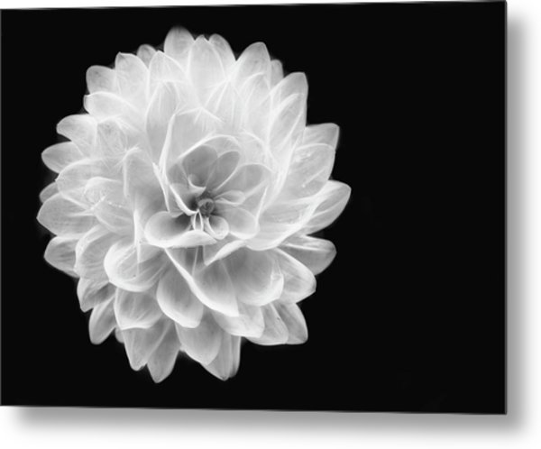 Glowing Dahlia Metal Print
