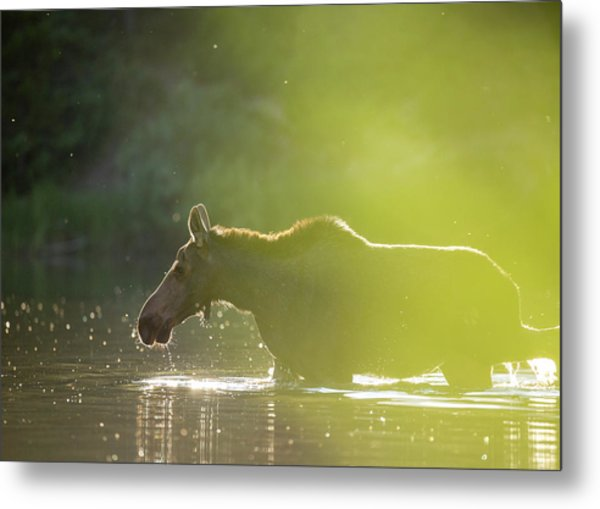 Metal Print featuring the photograph Glowing Moose // Glacier National Park  by Nicholas Parker