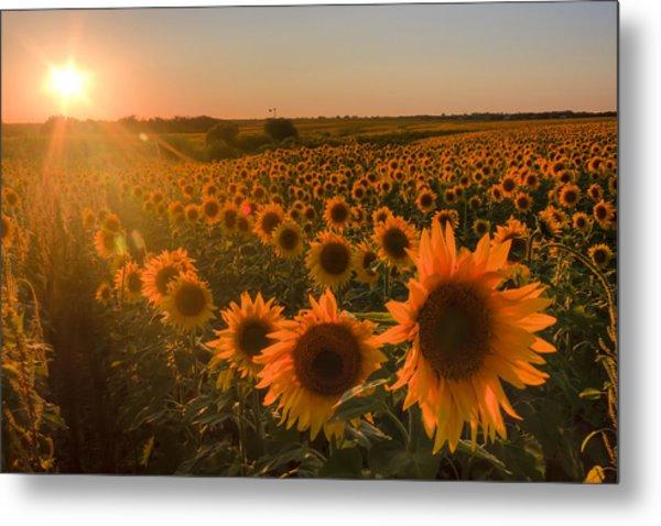 Glowing Sunflowers Metal Print