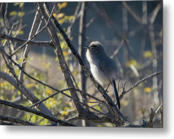 Gnatcatcher Metal Print