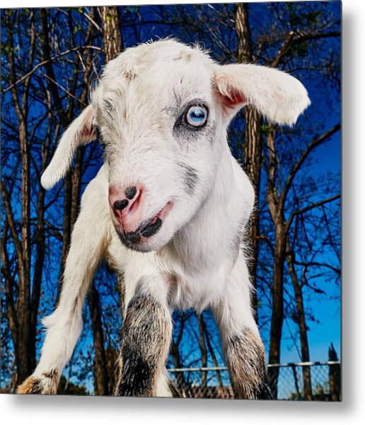 Goat High Fashion Runway Metal Print