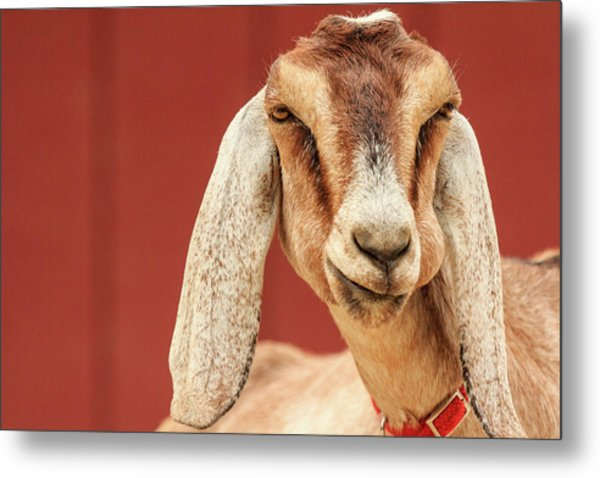 Goat With An Attitude Metal Print