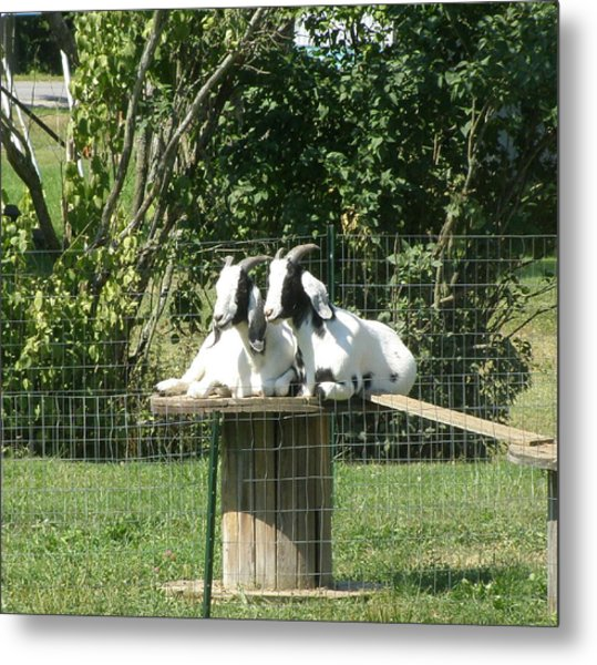 Goats Dreaming Of Trouble Metal Print by Jeanette Oberholtzer