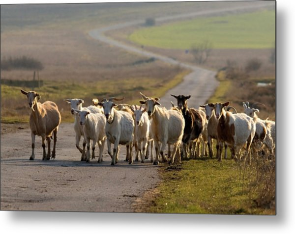 Goats Walking Home Metal Print