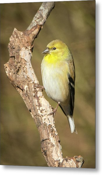 Metal Print featuring the photograph Gold Finch by David Waldrop
