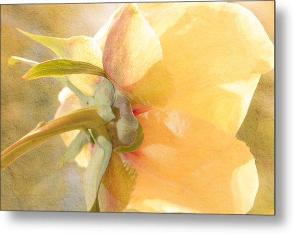 Golden Bowl Tree Peony Bloom - Back Metal Print