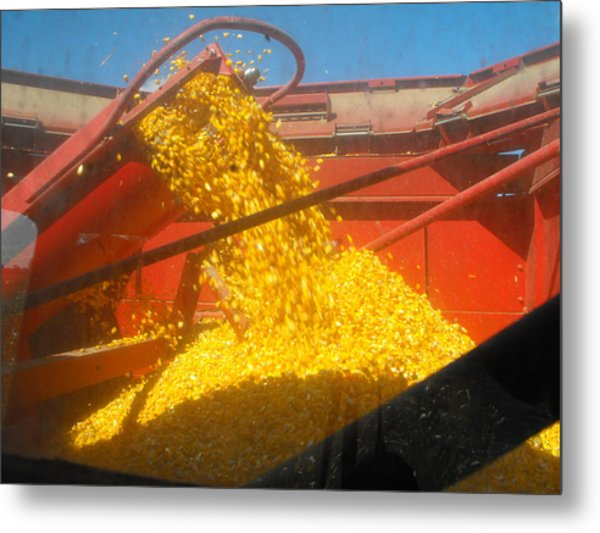 Golden Corn Metal Print
