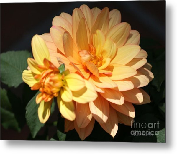 Golden Dahlia With Bud Metal Print