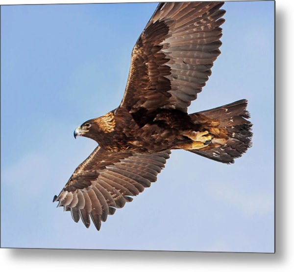 Golden Eagle Flight Metal Print