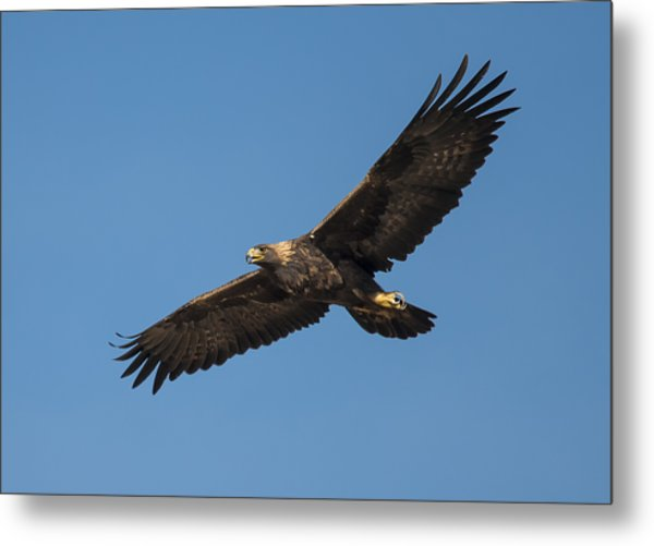 Golden Eagle In Flight Metal Print