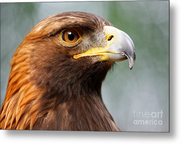Golden Eagle Intensity Metal Print