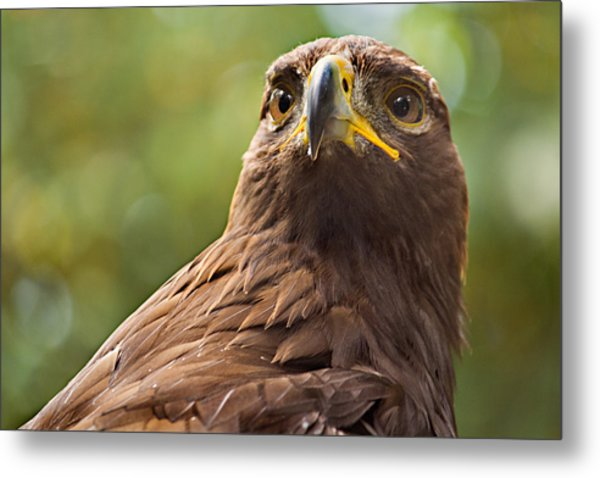 Golden Eagle Portrait Metal Print by Peter J Sucy