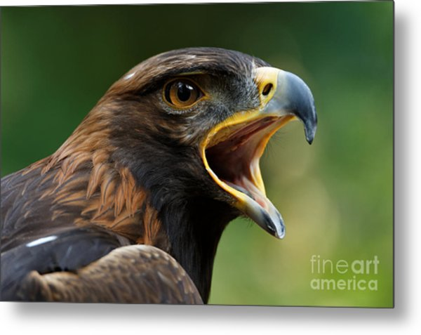 Golden Eagle - Raptor Calling Metal Print