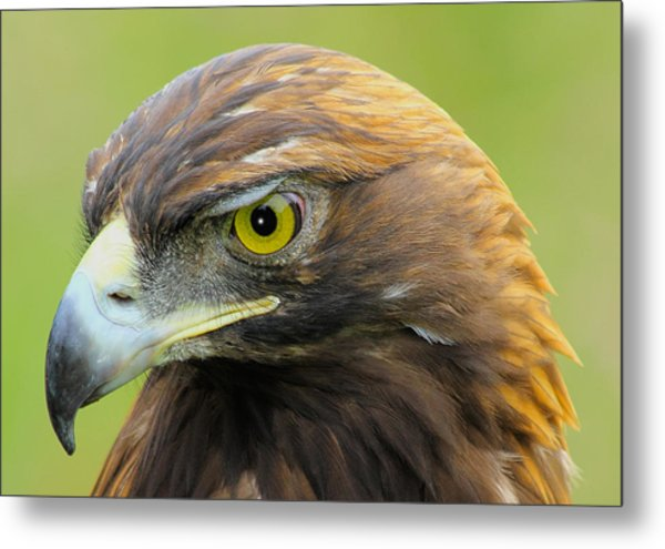 Metal Print featuring the photograph Golden Eagle by Shane Bechler