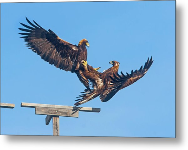Golden Eagle Courtship Metal Print