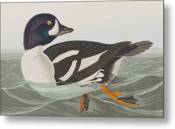 Golden-eye Duck Metal Print