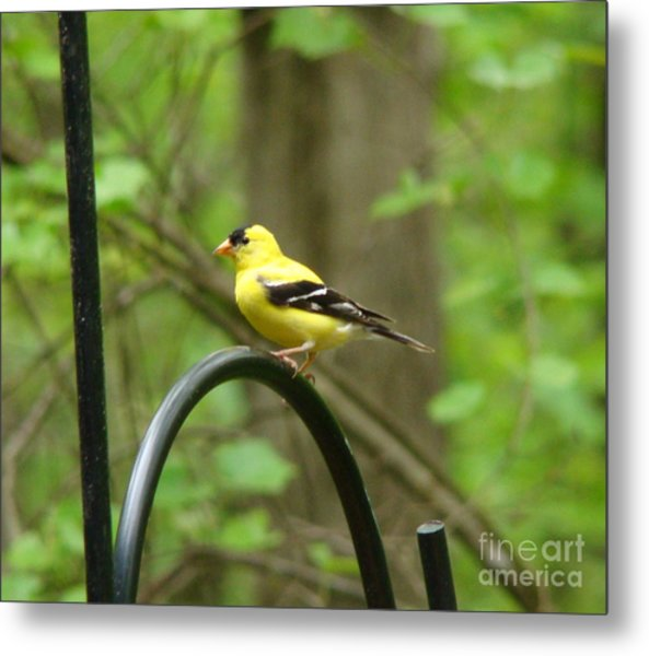 Golden Finch Metal Print