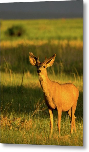 Golden Light Buck II Metal Print