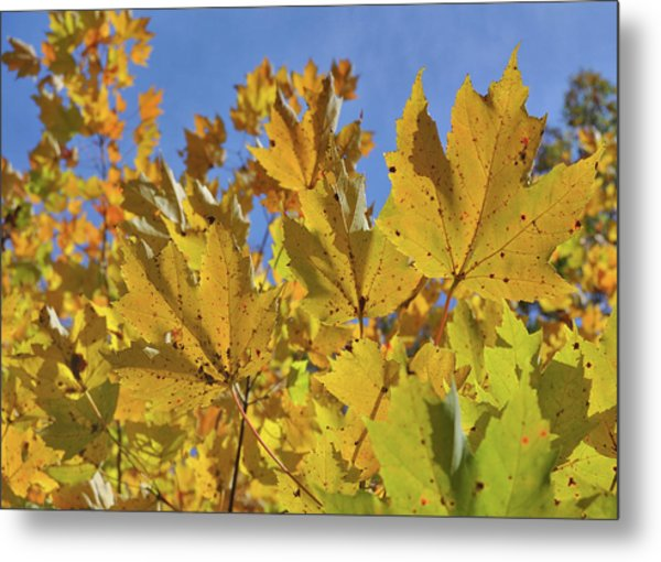 Golden Maple Metal Print by JAMART Photography