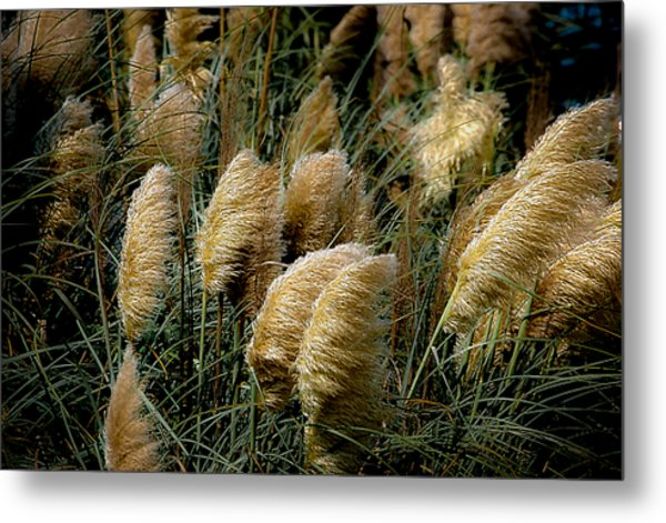 Golden Pampas In The Wind Metal Print